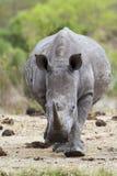 Südliches weißes Nashorn in Nationalpark Kruger Stockfotos