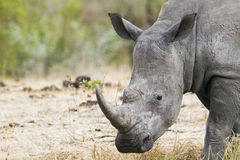 Südliches weißes Nashorn in Nationalpark Kruger Stockbild