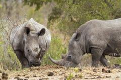 Südliches weißes Nashorn in Nationalpark Kruger Lizenzfreie Stockbilder