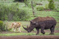 Südliches weißes Nashorn und afrikanischer Löwe in Kruger nationalem PA lizenzfreie stockfotos