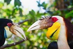 Südostasiatische gewundene Hornbills gegen Dschungelhintergrund stockbild