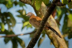 Sędziwy Chachalaca - Ortalis cinereiceps rodzinny Cracidae ptak, odnosić sie Australasian kopów budowniczowie, trakeny wewnątrz zdjęcia stock