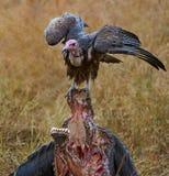 Sęp na Bawolim zwłoka (Kapturzasty sęp) Zdjęcie Royalty Free