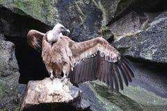 Sęp otwiera swój skrzydła gotowych brać lot zdjęcia stock