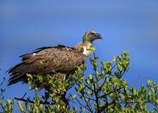 Sęp umieszczał w drzewie przegląda teren dla carrion Obraz Royalty Free