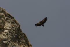 Sęp w locie w północnym Hiszpania Obraz Royalty Free