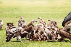 Sępy gromadzą się łasowania carrion przy Kenijską sawanną Fotografia Royalty Free