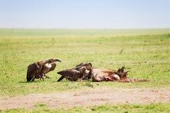 Sępy gromadzą się jedzący ścierwo wildebeest Zdjęcie Royalty Free