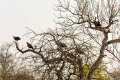 Sępy siedzi w drzewie w Wielkim Kruger parku narodowym, Sout obraz royalty free
