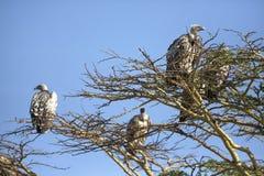 Sępy w Afryka Fotografia Royalty Free