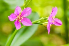 Sława - kwiat, Ceylon szpinak, sympatia, Surinam portulaka (Talin zdjęcie stock
