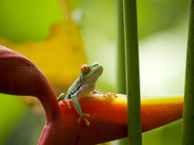 Sławna czerwień przyglądająca się drzewna żaba Zdjęcie Royalty Free