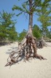 Sławni chodzący drzewa w Sandy Trzymać na dystans na wybrzeżu Jeziorny Baikal Zdjęcie Royalty Free