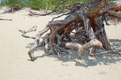 Sławni chodzący drzewa w Sandy Trzymać na dystans na wybrzeżu Jeziorny Baikal Obraz Royalty Free