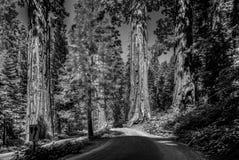 Sławni duzi sekwoj drzewa fotografia stock