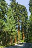 Sławni duzi sekwoj drzewa fotografia royalty free