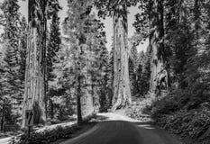 Sławni duzi sekwoj drzewa stoją w sekwoja parku narodowym fotografia royalty free