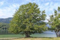 Sławny drzewo na jeziornym Bohinj, sławny miejsce przeznaczenia nie daleko od jeziora Krwawiącego Obrazy Royalty Free