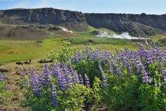 Sławny Islandzki fiołkowy kwitnienie kwitnie łubiny w scenicznym widoku z górami, dekatyzujący gorące zatoczki i konie Obraz Stock
