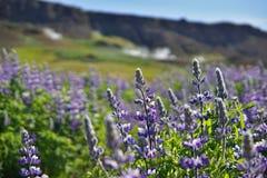 Sławny Islandzki fiołkowy kwitnienie kwitnie łubiny w scenicznym widoku z górami, dekatyzujący gorące zatoczki i konie Fotografia Royalty Free