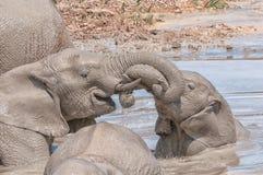 Słoń łydek bawić się Obraz Stock