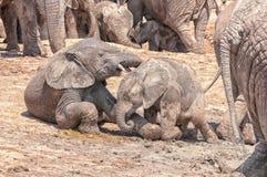 Słoń łydek bawić się Zdjęcia Royalty Free