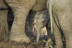 Słoń łydka w Południowa Afryka obraz stock