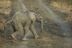Słoń łydka w Południowa Afryka obrazy stock