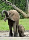 Słoń łydka z słoń krową Afrykański Lasowy słoń, Loxodonta africana cyclotis Przy Dzanga zasolonym (lasowy cle Fotografia Stock