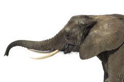 słoń obraz royalty free