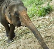słoń Obraz Stock
