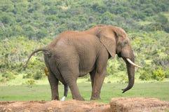 Słoń, Addo słonia park narodowy Zdjęcie Royalty Free