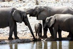 słoń afrykańska grupa Zdjęcia Royalty Free