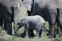 słoń afrykański Fotografia Stock