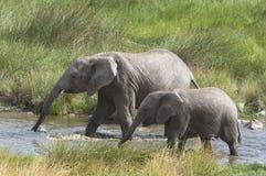 słoń afrykański Zdjęcia Royalty Free