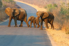 słoń afrykański Zdjęcia Stock
