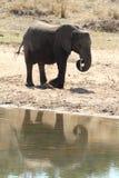 słoń afrykański Zdjęcie Stock
