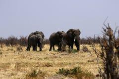 słoń afrykański Fotografia Royalty Free