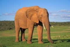 słoń afrykański Obrazy Royalty Free