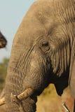 słoń afrykański Obraz Stock