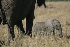 słoń afrykański Obraz Royalty Free