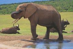 słoń afrykański antylopy Obraz Royalty Free