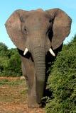 słoń afrykański byka Zdjęcie Stock