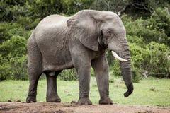 słoń afrykański byka obraz stock