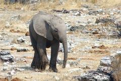 słoń afrykański dziecko Zdjęcie Royalty Free