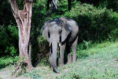 słoń afrykański dziki Zdjęcie Royalty Free