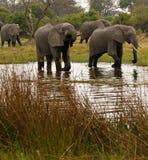 słoń afrykański rodziny Fotografia Royalty Free