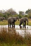 słoń afrykański rodziny Fotografia Stock