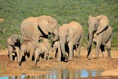 słoń afrykański rodziny Zdjęcie Stock