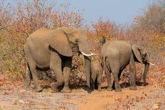 słoń afrykański rodziny Obrazy Stock